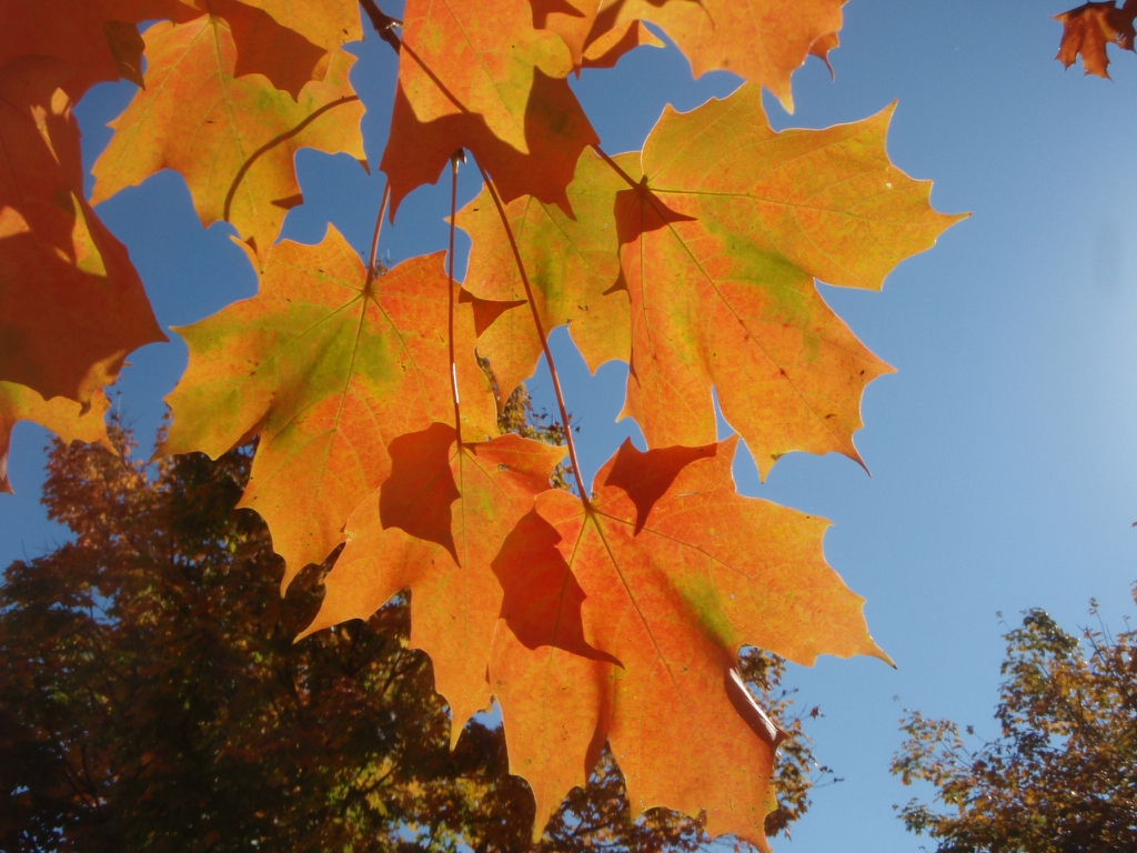 Acer saccharinum - under branch fall color