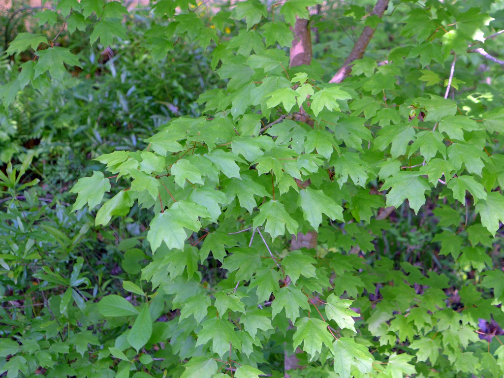 Acer saccharum subsp. leucoderme