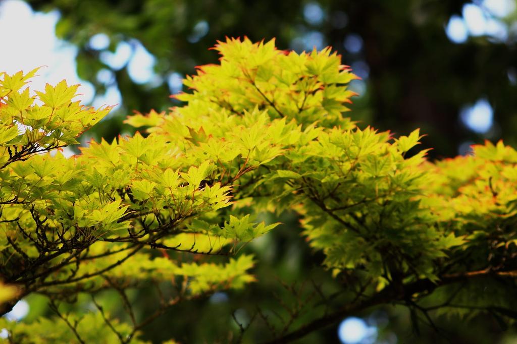 Acer sieboldianum far away from leaf