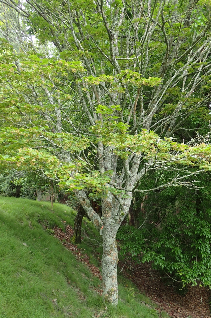 Acer sieboldianum var. microphyllum