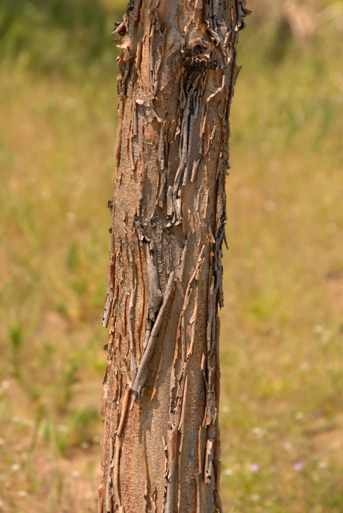Acer triflorum Bark