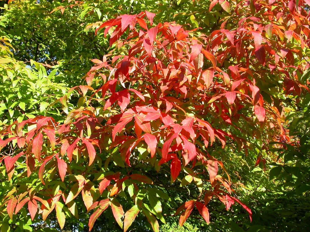 Acer triflorum fall leaves