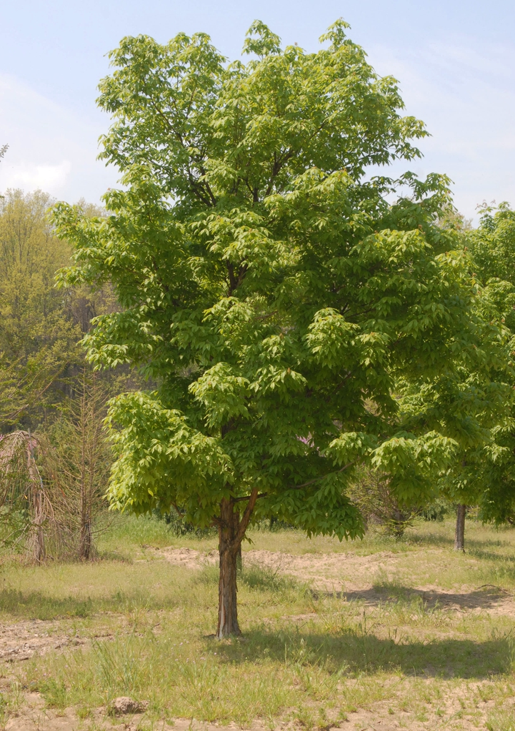 Acer triflorum Tree