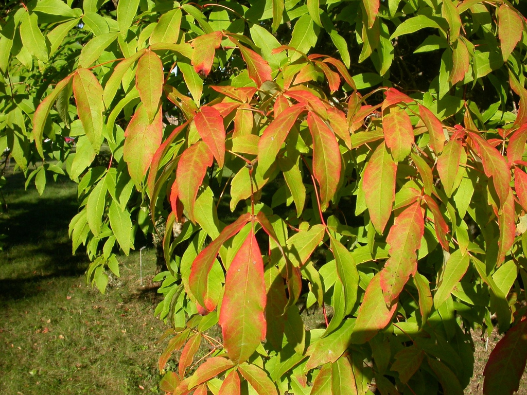 Acer triflorum leaves