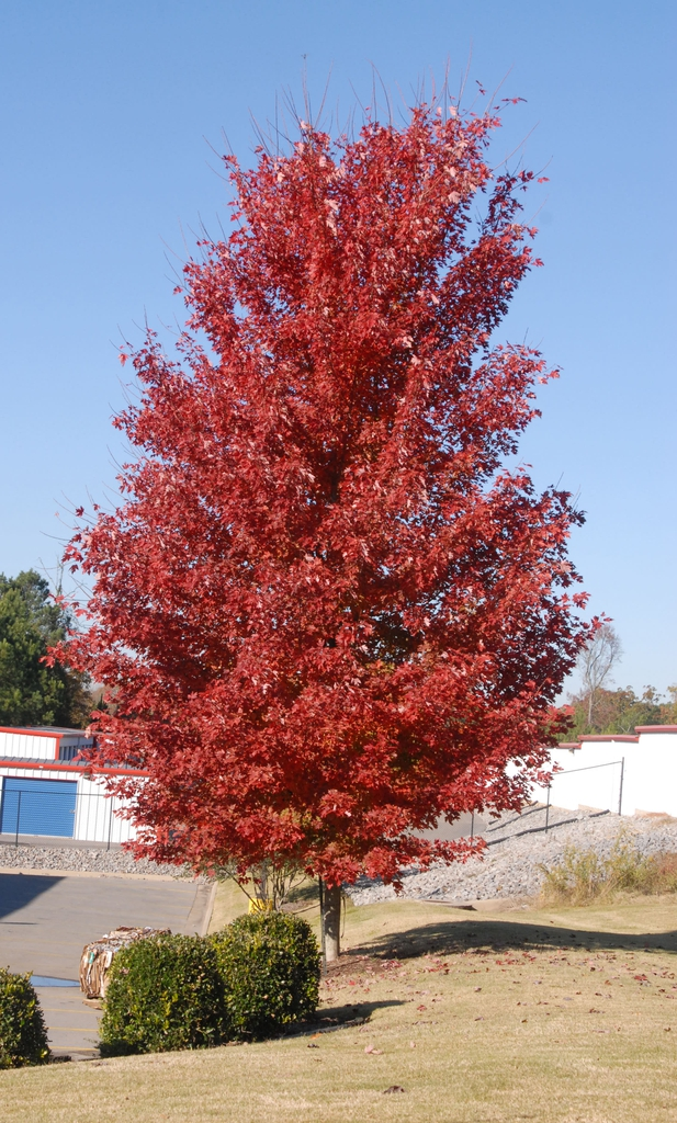 'Autumn Blaze' - full tree fall color