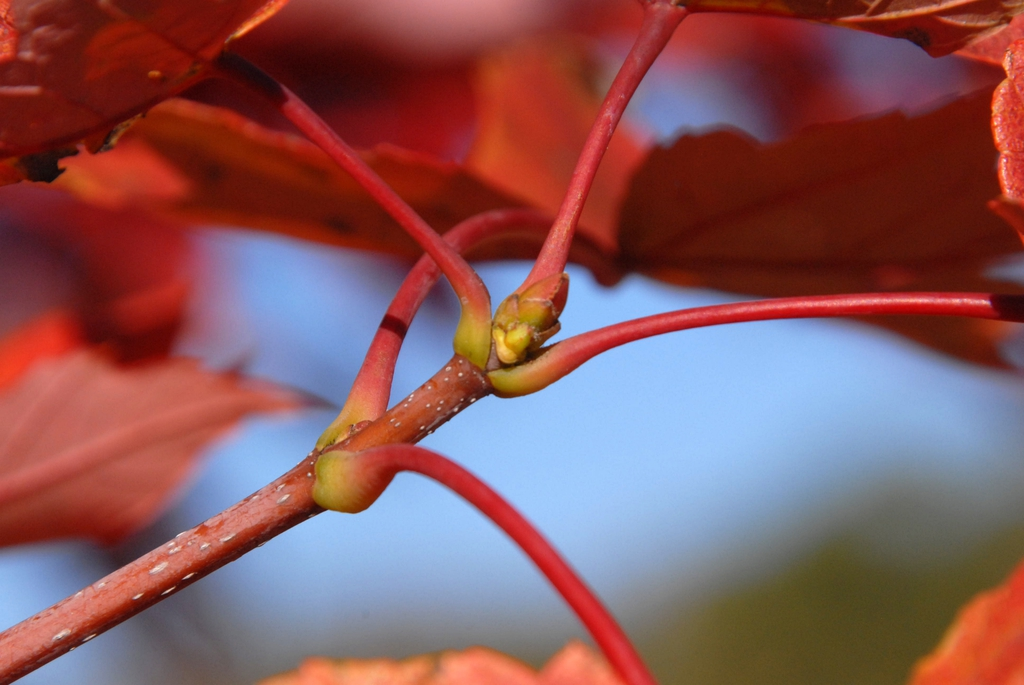 'Autumn Blaze' - leaf buds