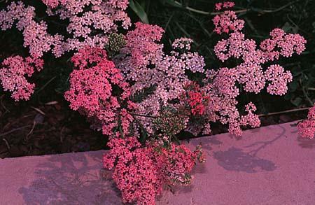 Achillea millefolium hybrids, pink