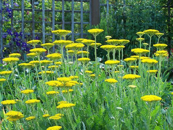 Achillea millefolium