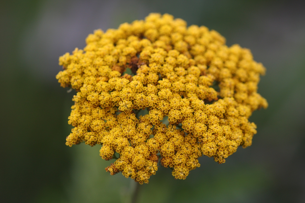 Achillea filipendulina close up of flower
