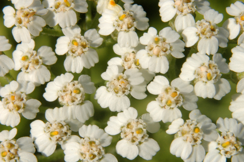 Achillea millefolium (close up of flower)