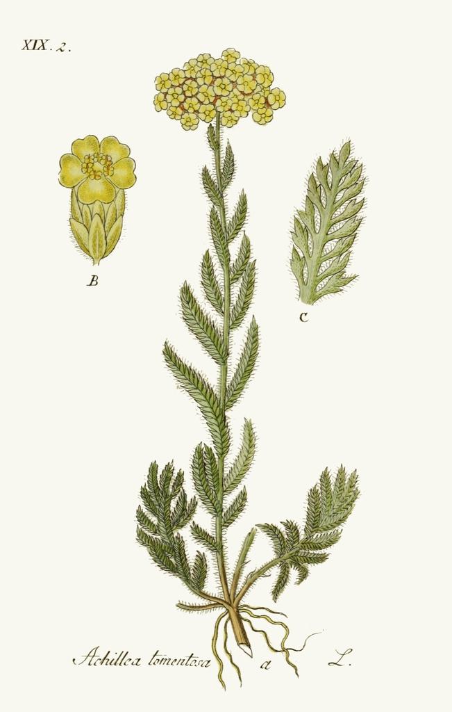 Achillea tomentosa