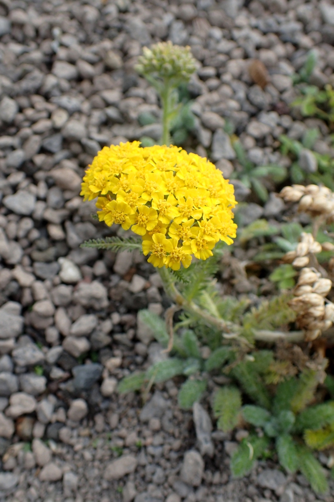 Achillea tomentosa 'Golden Fleece'