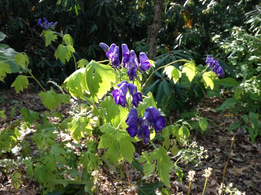 Aconitum uncinatum