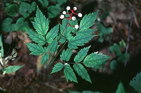 Actaea spp.