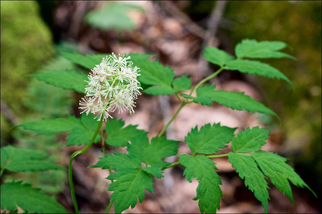 Actaea pachypoda leaves and flower