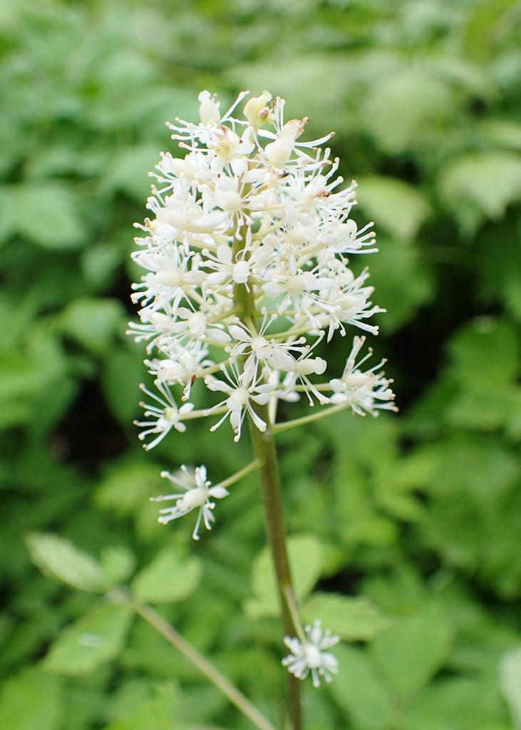 Actaea rubra flower