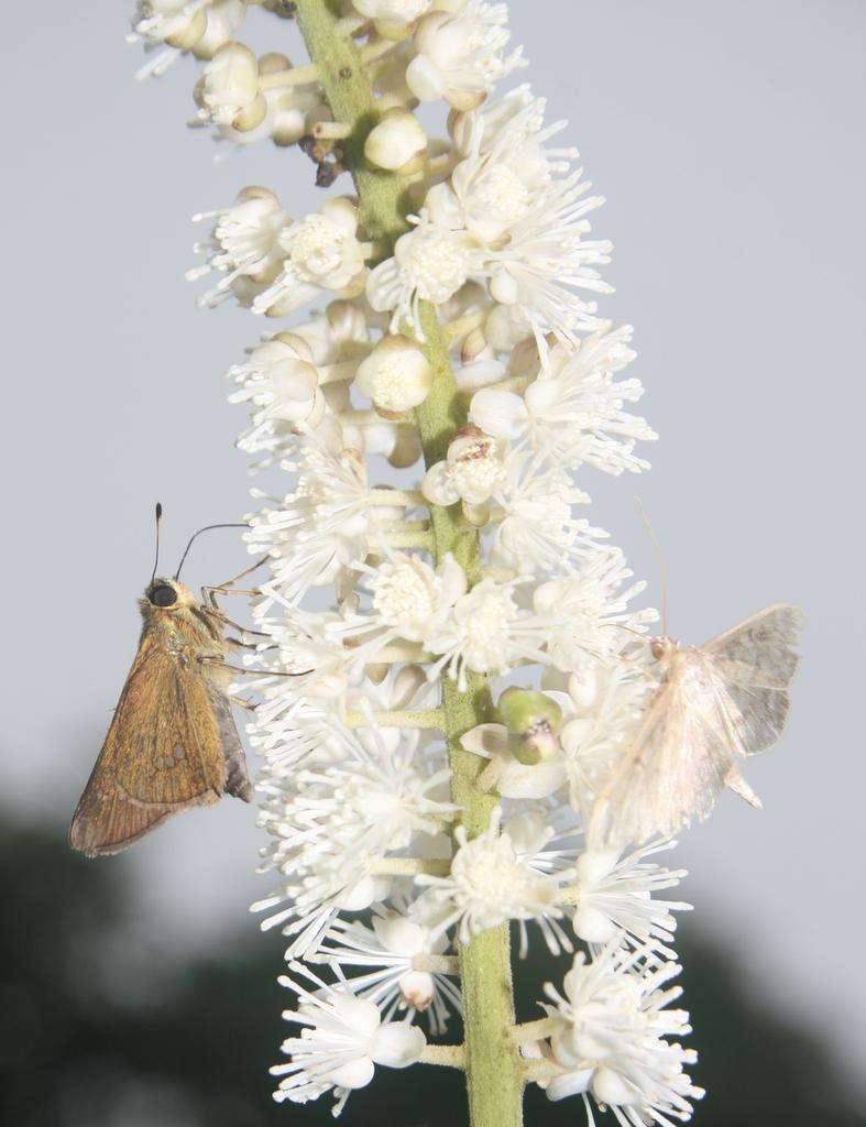 Actaea simplex flower