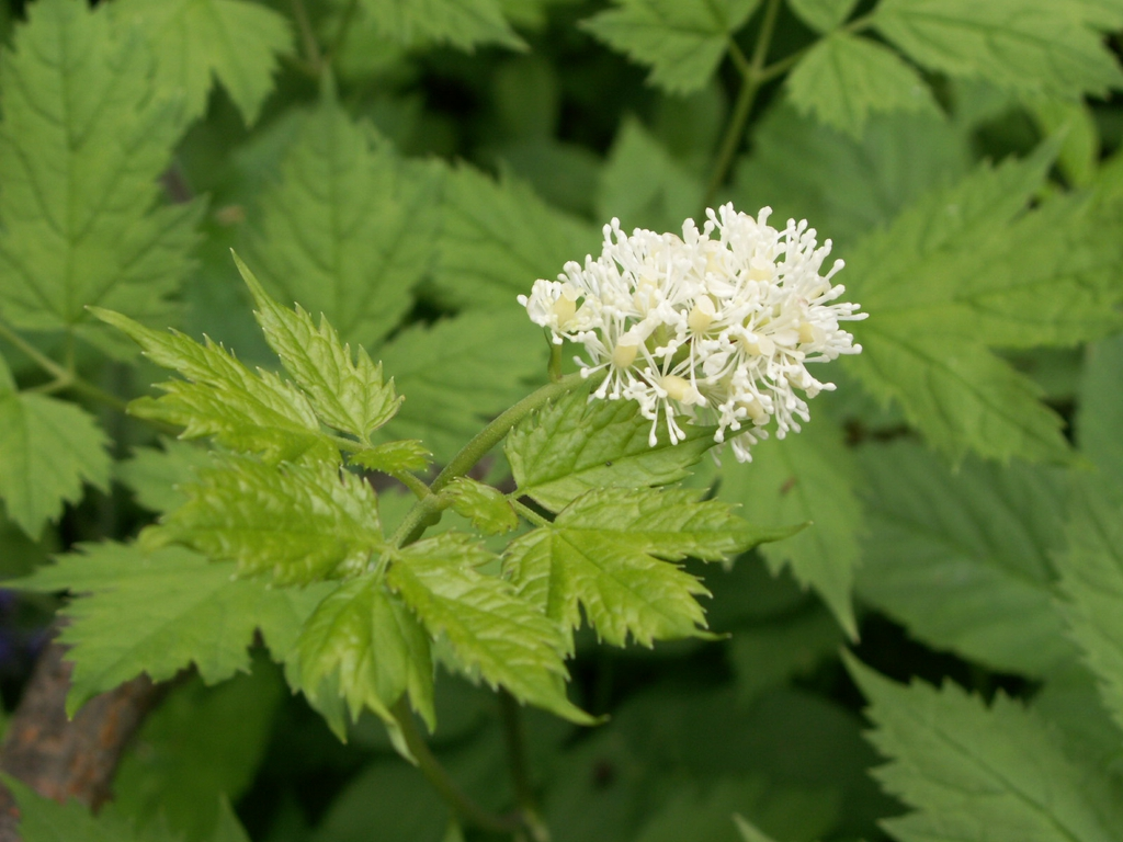 Actaea spicata flower and leaves