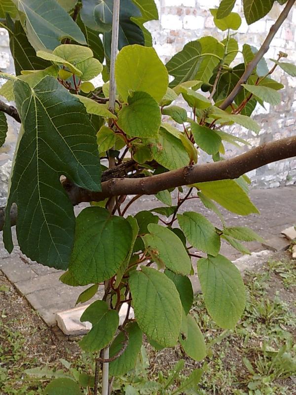 Actinidia chinensis Kiwi