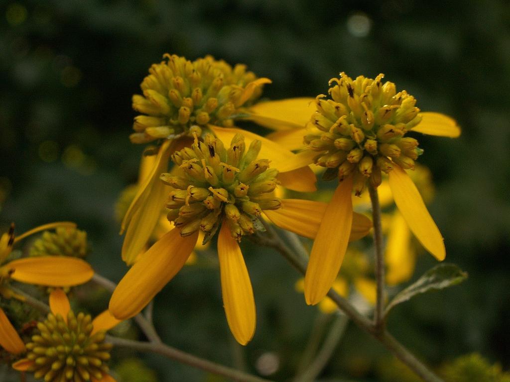 Actinomeris alternifolia