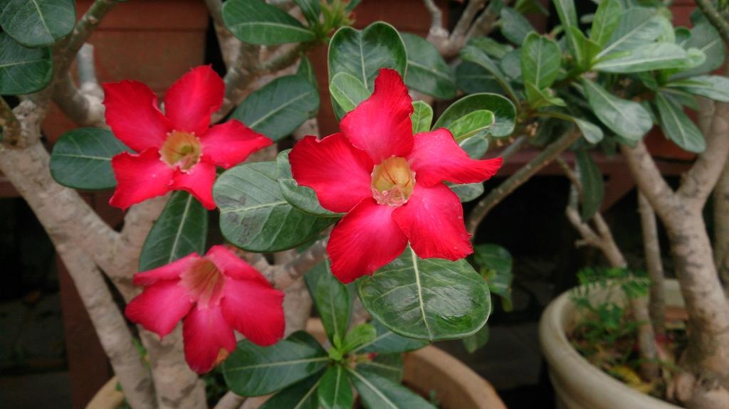 Flowers of 'Dark Red'