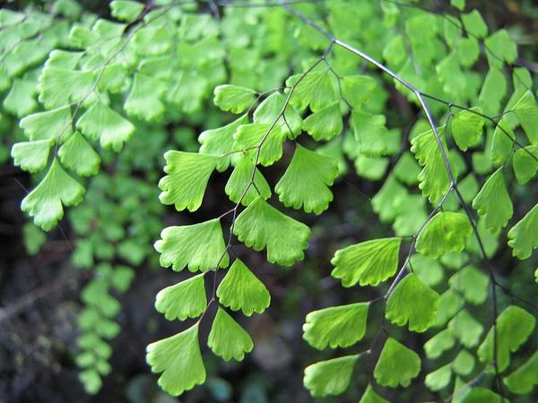 Adiantum raddianum leaves