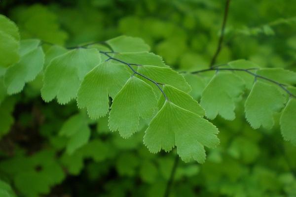 Adiantum capillus vereris leaves