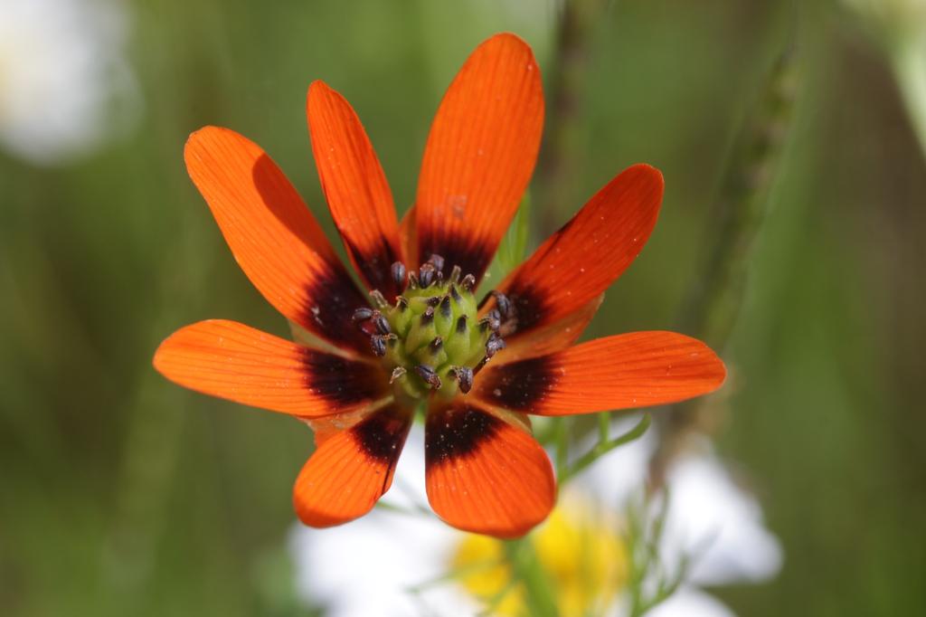 Adonis aestivalis flower