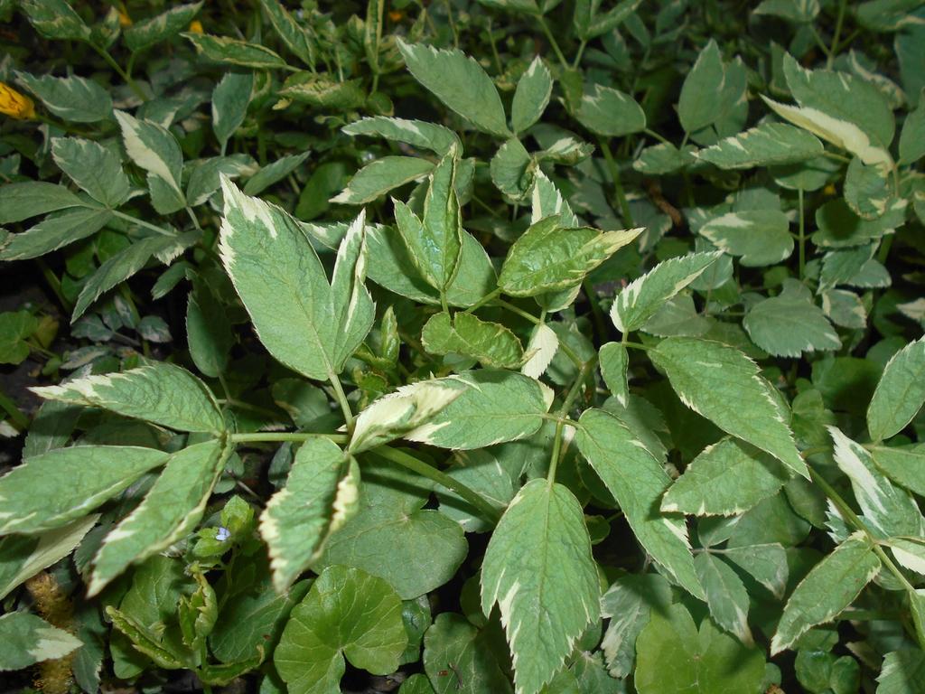 Varigate foliage