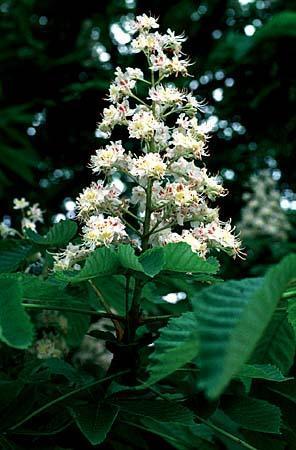 Aesculus hippocastanum flowers, multiple