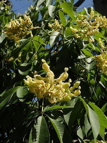 Aesculus flava flowers