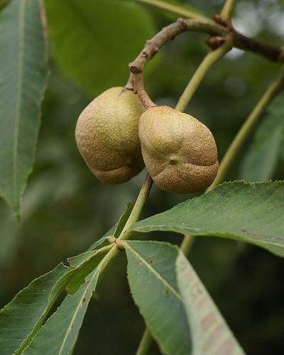Fruits (capsules)