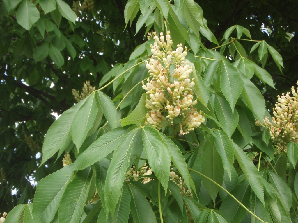 Aesculus octandra - flower blooming