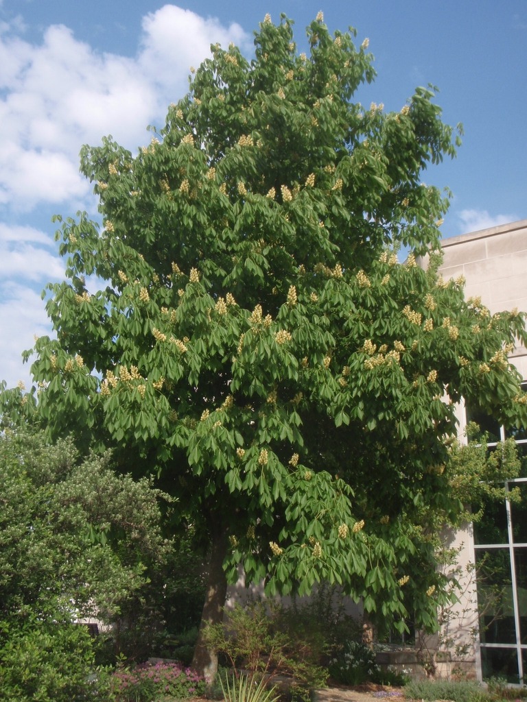 Aesculus octandra - full tree in bloom