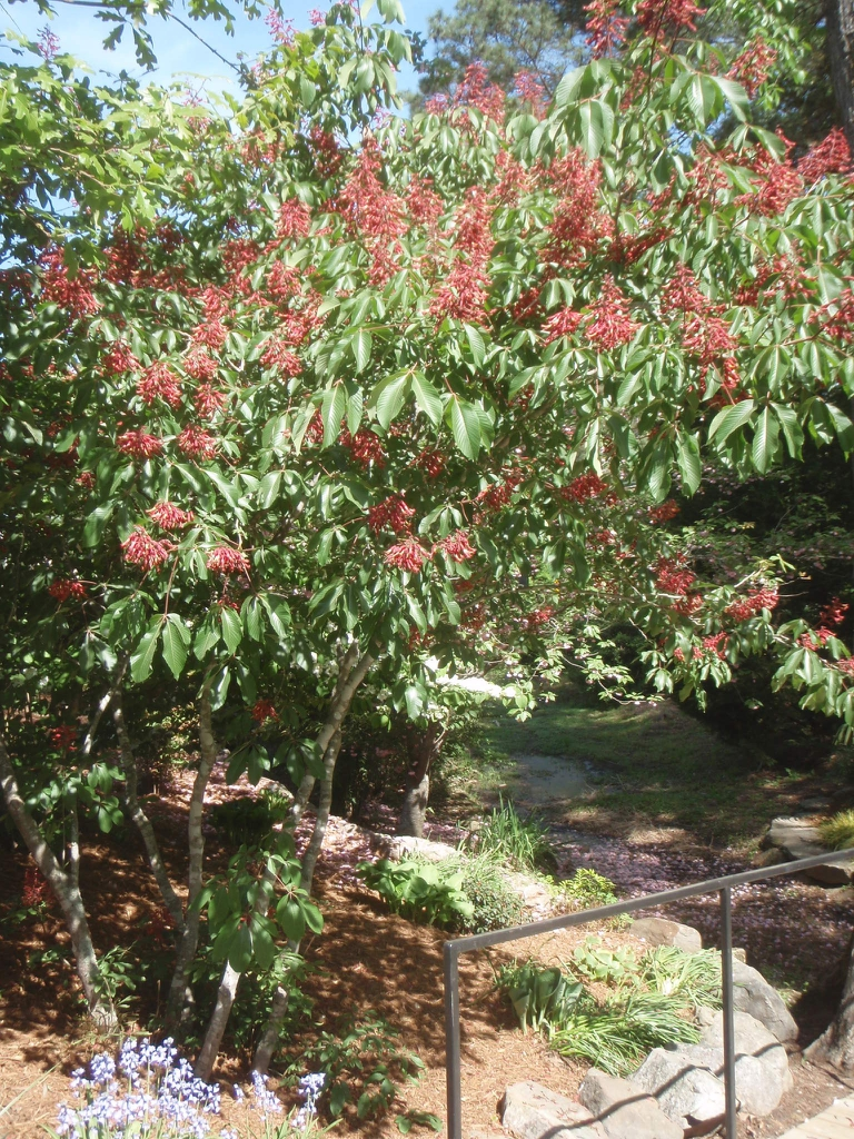 Aesculus pavia - section of plant in bloom