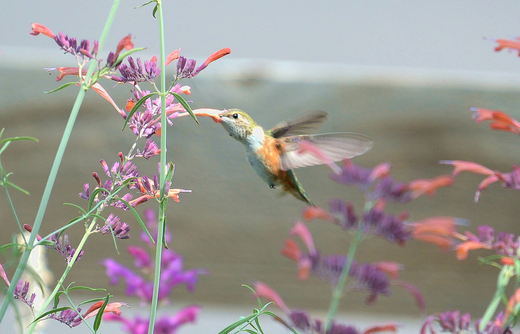 With Female Broad-tailed Hummingbird