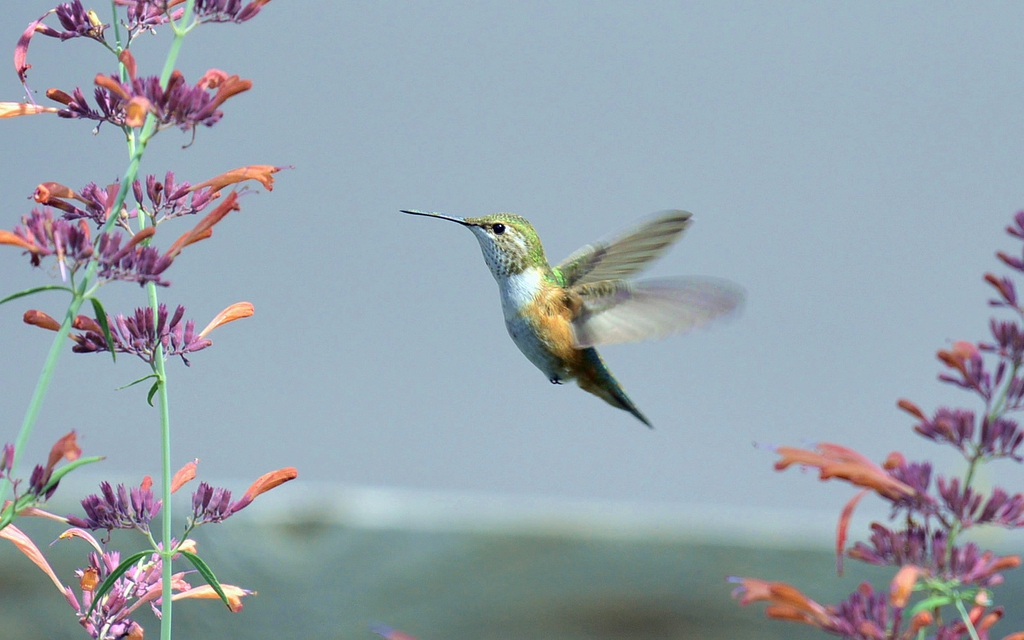 Agastache Rupestris with Female Broad-tailed Hummingbird