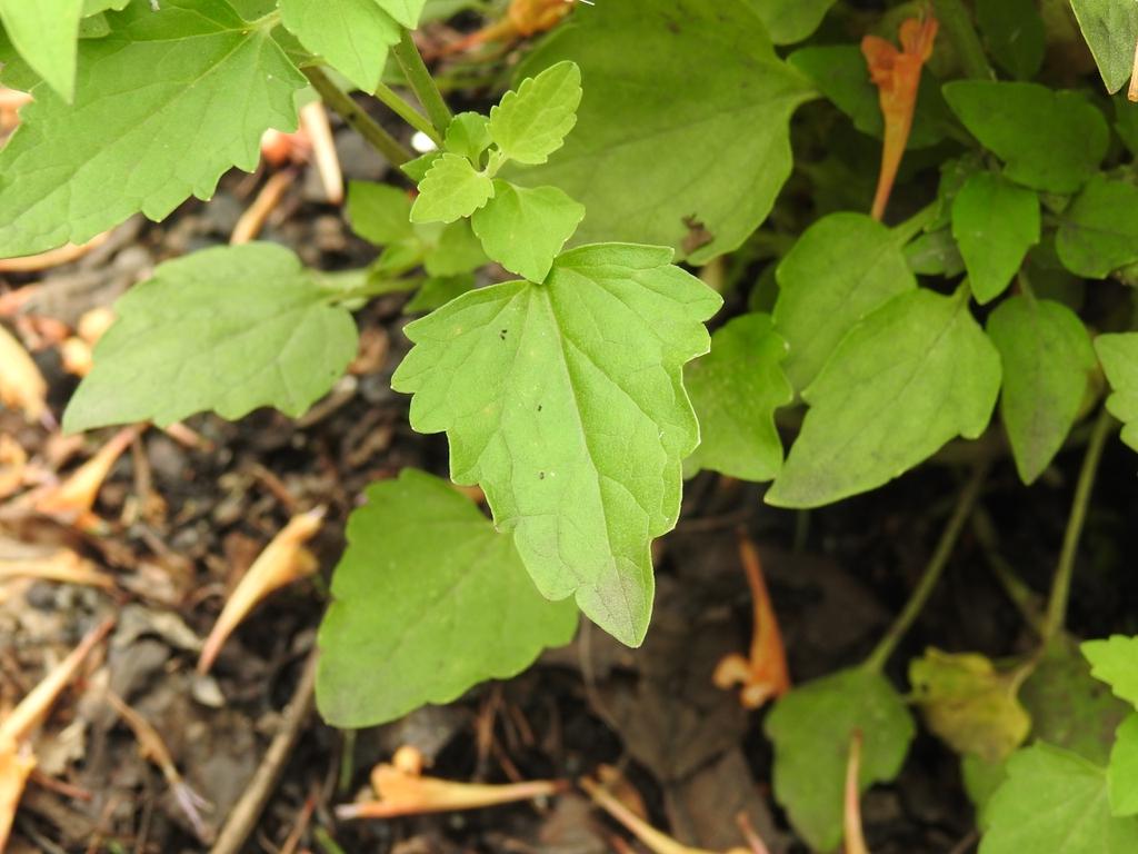 Agastache 'TNAGAPO' Poquito Orange leaves