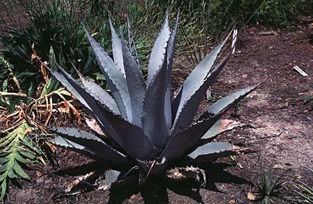 Agave sp.