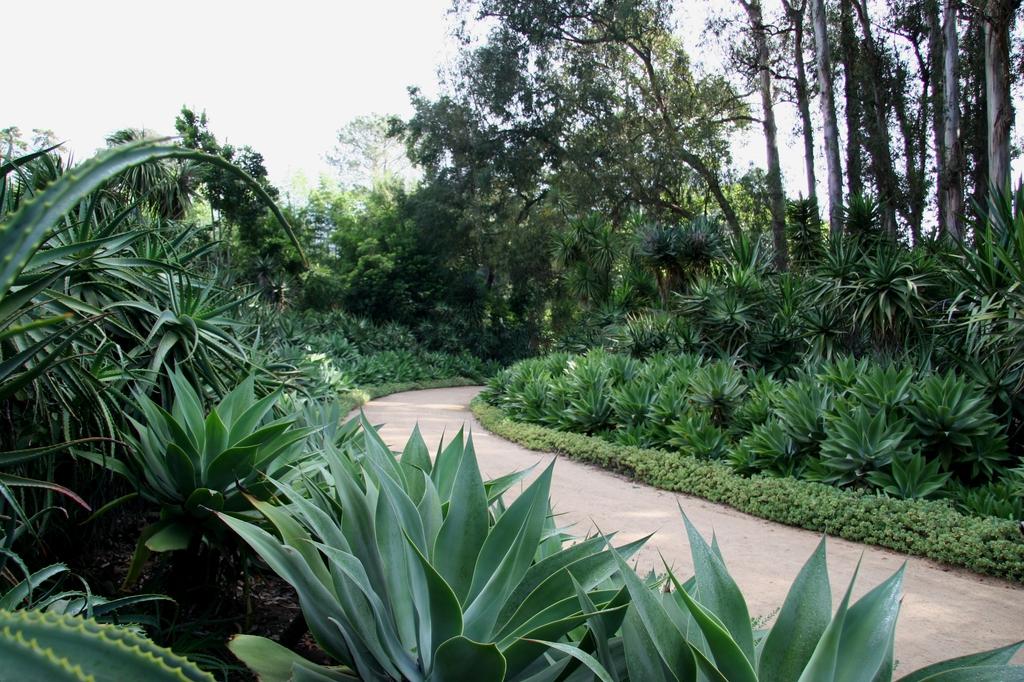 Agave attenuata in the landscape
