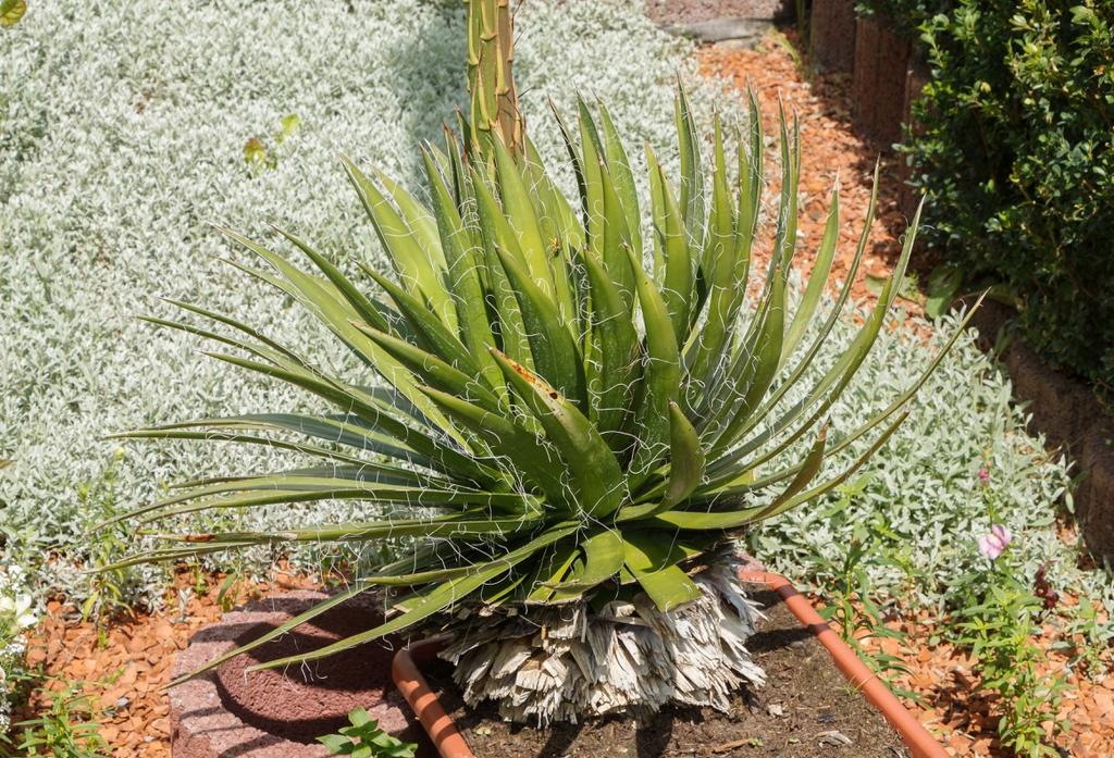Agave filifera form