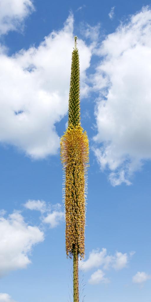 Agave filifera inflorescence