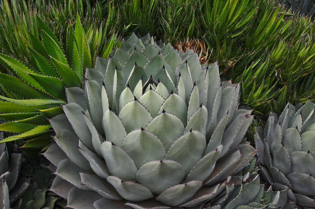 Agave parryi form