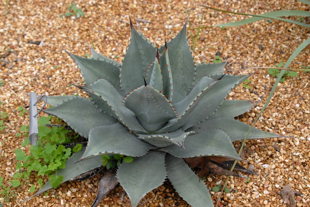 Agave parryi spp 'huachucensis' - full plant