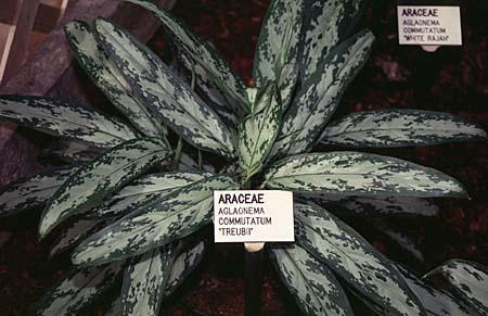 Photo of Aglaonema modestum, A. commutatum