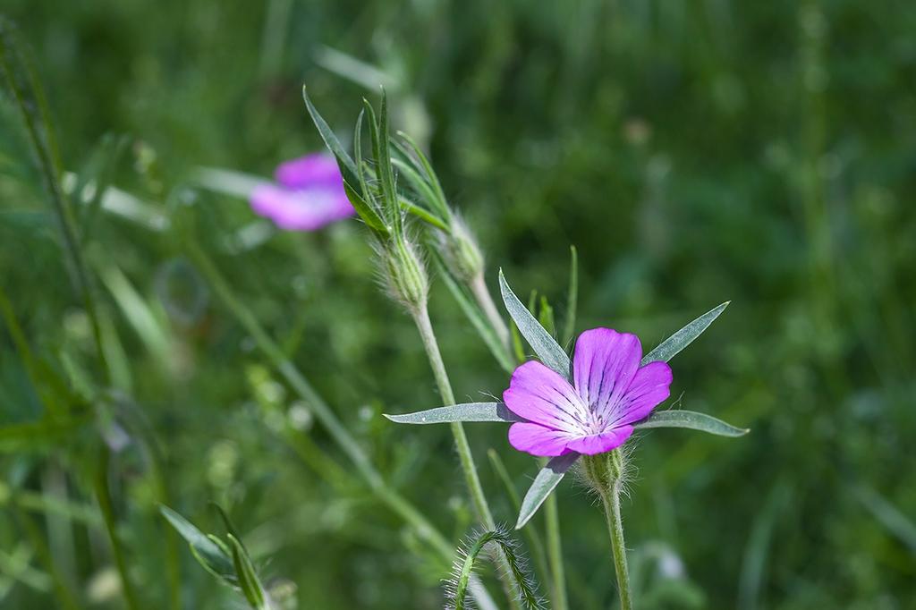 Agrostemma githago wildflower
