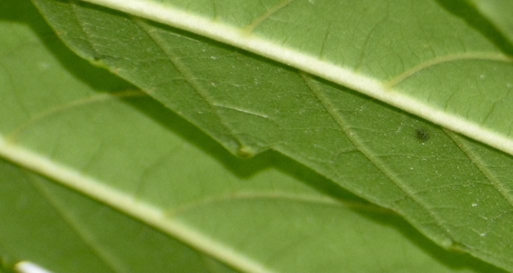 Leaf Closeup- Aug. 20 - Warren Co., NC