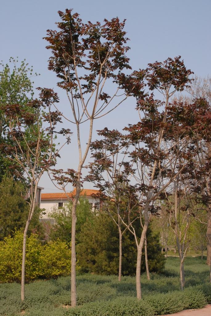 Ailanthis altissima
