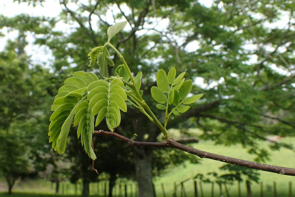 Albizia kalkora's leaves and bark
