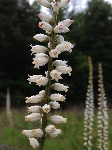 Aletris farinosa